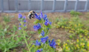 Biene am Campus der TU Dresden